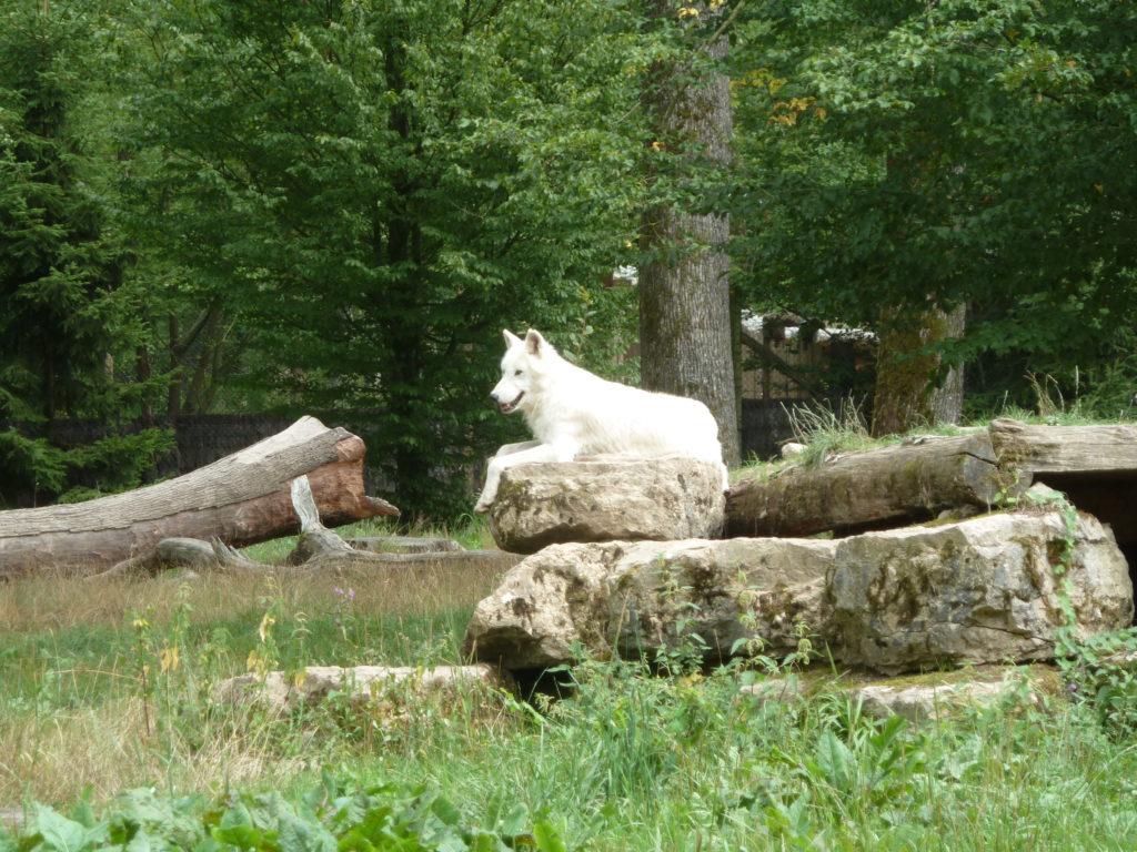 Loup blanc à Sainte-Croix